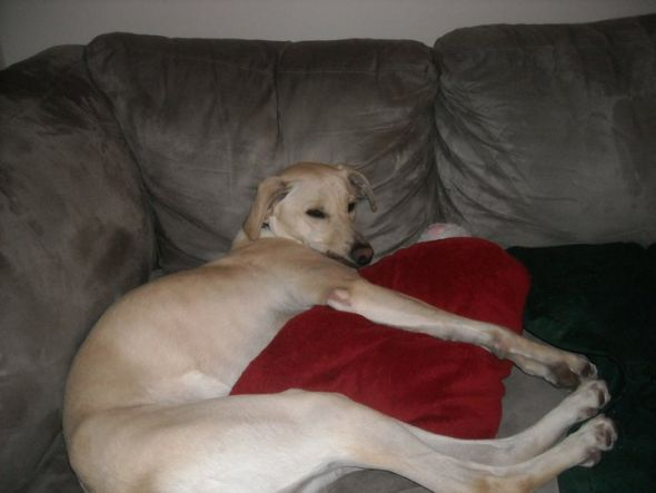 The gallery for --> Yellow Lab Greyhound Mix Temperament