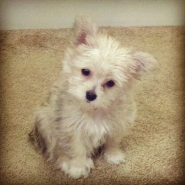 Yorkie Poodle Chihuahua Mix Photo | Dog Breeds Picture