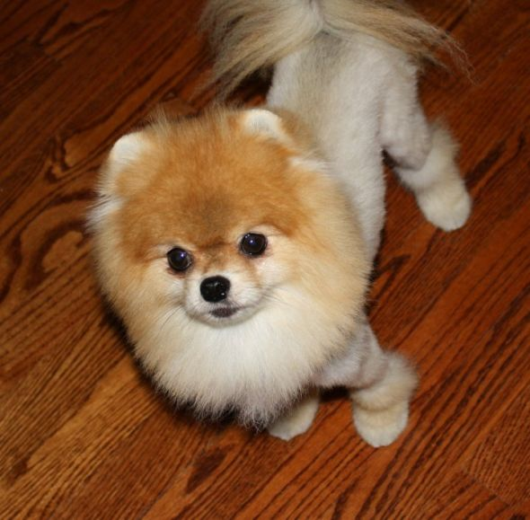 Pomeranian Lion Cut