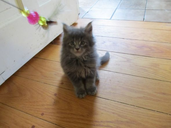 And because I know cute kitten pictures are awesome, meet Perkins at 7 weeks ...