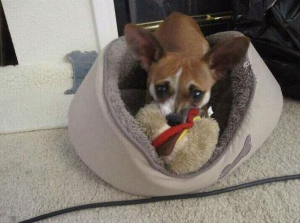 poodlechihuahuaitalian greyhound even more miniature greyhound these ...