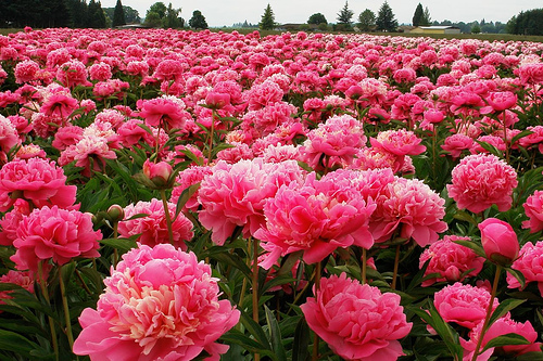 Flowers similar to peonies flower person but i love pink peonies it is looking like these are not available in mexico so i was wondering what other kinds of flowers would look mightylinksfo