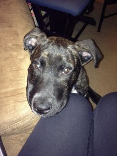 Brindle Pitbull Lab Mix Posted 2 years ago in pets